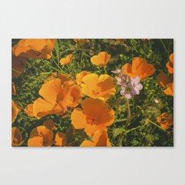 California Poppies 009 Canvas Print