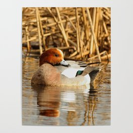 Eurasian Wigeon at the Pond Poster