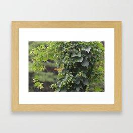 Hops (Humulus lupulus) Framed Art Print