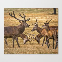 Rutting. Canvas Print