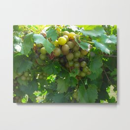 Green Grapes in the Sunshine Metal Print