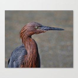 Reddish egret on the Gulf of Mexico Canvas Print