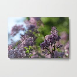 Lilacs in Bloom Metal Print