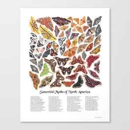 Saturniid Moths of North America Canvas Print