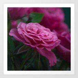 Magnificent Pink Rose Art Print