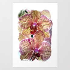 Stripped orchids Art Print