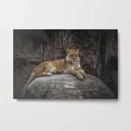 Lioness On Her Rock Lincoln Park Zoo Chicago Metal Print