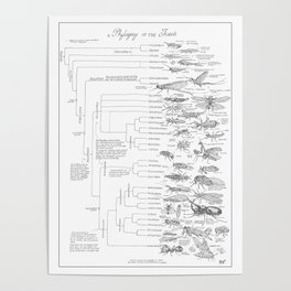 Phylogeny of the Insects Poster