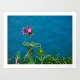 Red Campion on the Cliff Top Art Print