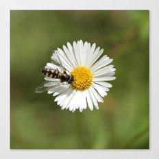 Native Bee on Seaside Daisy Canvas Print