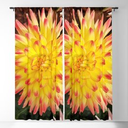 A Yellow Dahlia with Pink tips Blackout Curtain