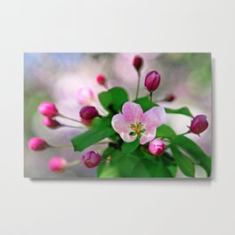 Crabapple flowers and buds. Outburst of life Metal Print