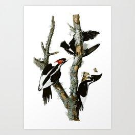 "7""x10"" Ivory Billed Woodpecker Print - Vintage Art, Scientific Art  Art Print"