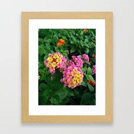 Lantana camara garden Framed Art Print