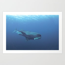 Hangers-on (2 remoras) on a whale shark Art Print