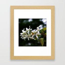 Spring!  Serviceberry blossoms Framed Art Print