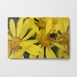 Busy Bumble Bee on Yellow Flowers Metal Print