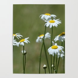 Cascade Daisy Flowers Blooming Poster