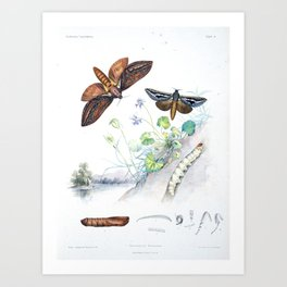 "Butterflies by Helena and Harriet Scott from ""Australian Lepidoptera,"" 1864 Art Print"