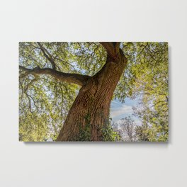 An old crooked oak tree Metal Print