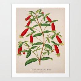 Correa Cordinalis Vintage Botanical Floral Flower Plant Scientific Illustration Art Print