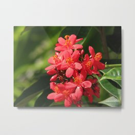 Jatropha red flower Metal Print