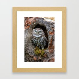 Owl in a tree hole Framed Art Print