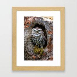 Owl in a tree hole Framed Art Print