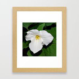 Trillium in the spotlight Framed Art Print