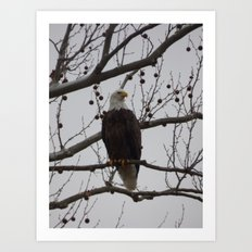 bald eagle 2016 III Art Print