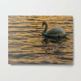 A swan enjoying the last rays of sunlight Metal Print