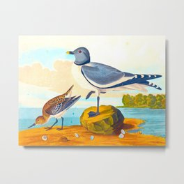 Fork-tailed Gull Metal Print