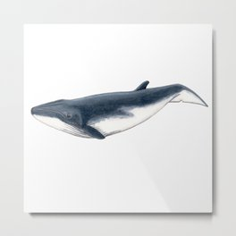 Bryde´s baby whale (Balaenoptera brydei) Metal Print