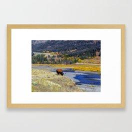 Lone Buffalo, Lamar Valley, Yellowstone Framed Art Print