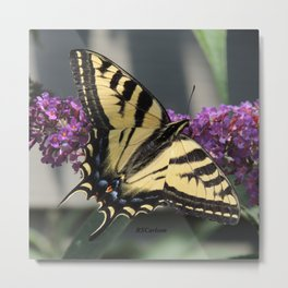 Western Tiger Swallowtail in the Shade Metal Print