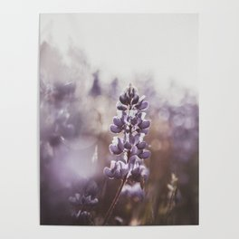 Lupine 108 Poster
