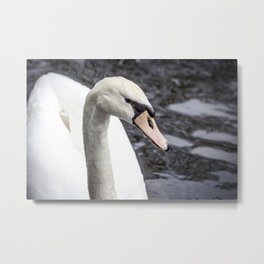 Closeup Profile of a Swan Swimming in a Pond in Amsterdam, Netherlands Metal Print