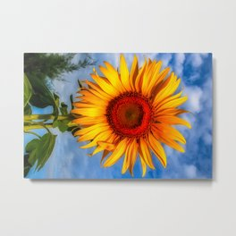 Blooming Sunflower  Metal Print