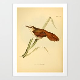 The Zoology of the Voyage of HMS Beagle 1840 - Birds 25: Limnornis curvirostris Art Print