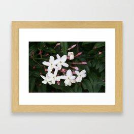 Delicate White Jasmine Blossom with Green Background Framed Art Print