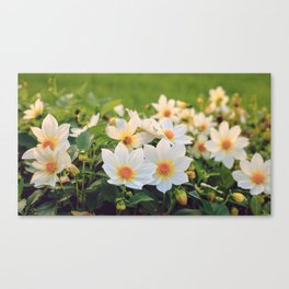Dahlia White Flowers Outdoors Flowerbed Solar Rays Canvas Print