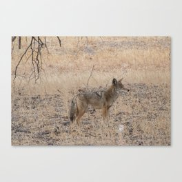 Coyote alone in the woods Canvas Print
