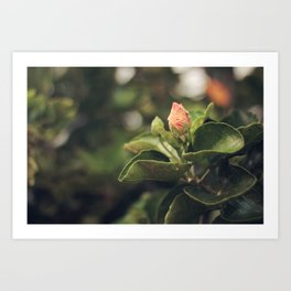 Capullo de Hibisco - Hibiscus bud Art Print