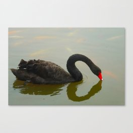 Black Swan Serenity 2 Canvas Print