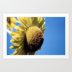 Bulging Sunflower Art Print