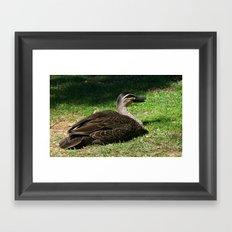 Pacific Black Duck Framed Art Print