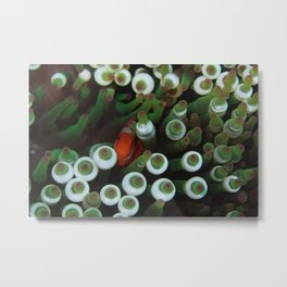 Maroon Anemonefish resting in its green anemone Metal Print