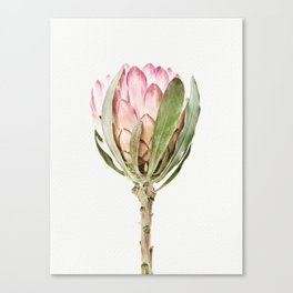 Pink Protea Flower Canvas Print