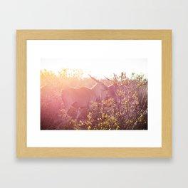 Eland walking through grasslands in South Africa at sunset Framed Art Print