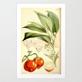 Flower 5424 solanum anthropophagorum Cannibals Solanum or Boro Dina1 Art Print